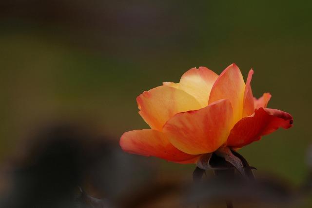 アンネのバラ1