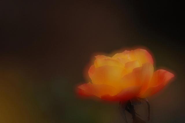 アンネのバラ3