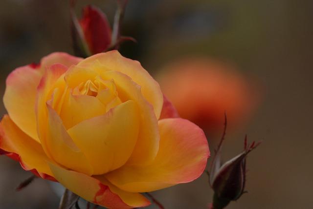 アンネのバラ4