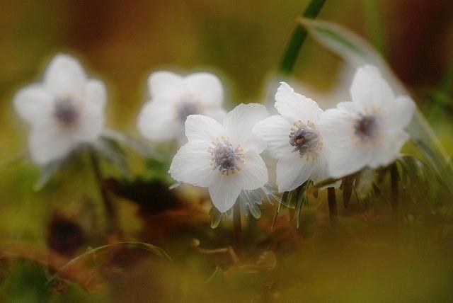 布瀬の節分草11
