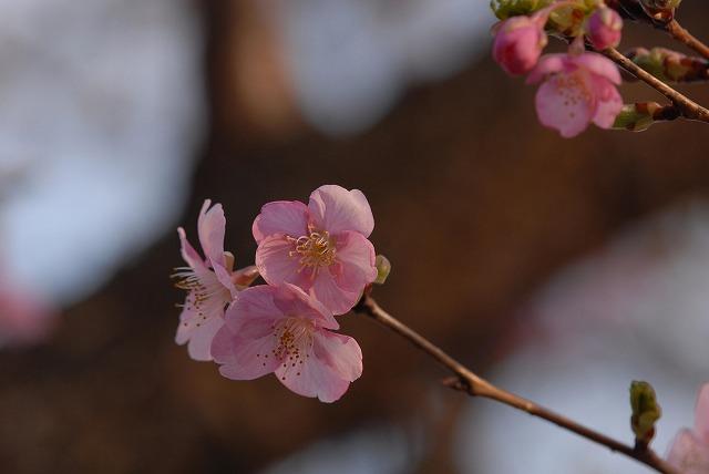 妙林寺の河津桜3