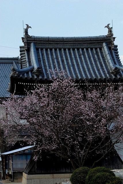 ふしぎ桜1