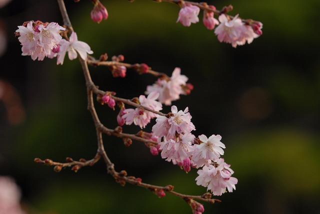 ふしぎ桜5