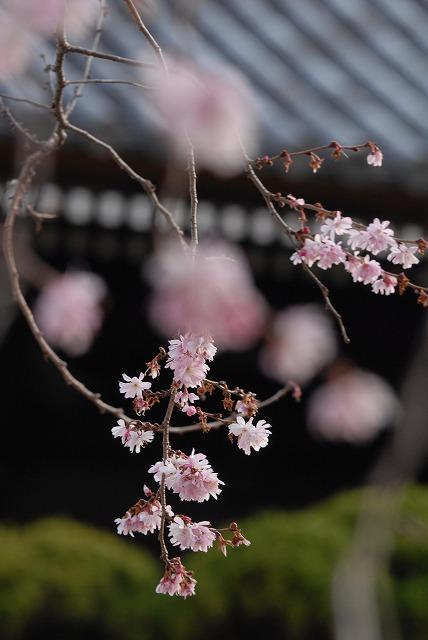 ふしぎ桜7