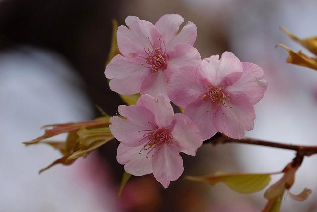 妙林寺の河津桜9