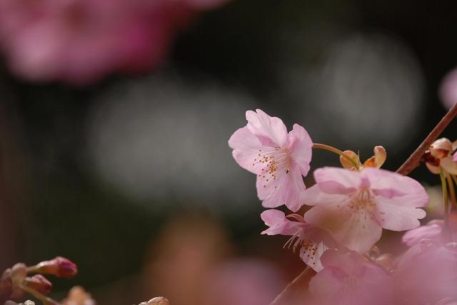 妙林寺の河津桜11