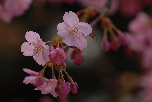 妙林寺の河津桜14