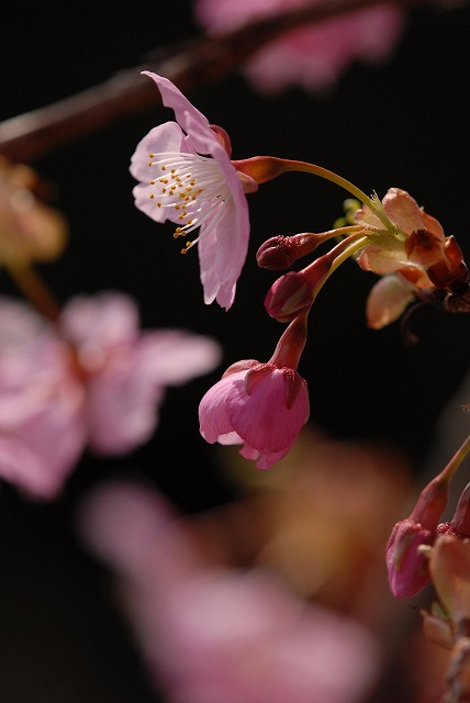 妙林寺の河津桜15