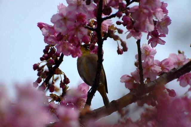 妙林寺の河津桜16