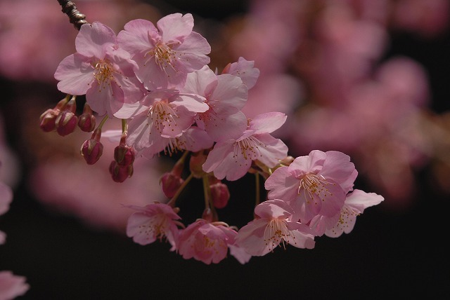 妙林寺の河津桜22
