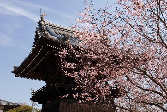 妙林寺の河津桜26