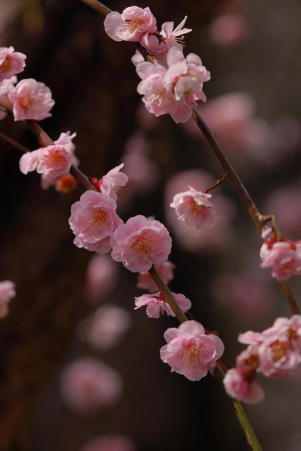 妙林寺の枝垂れ梅2