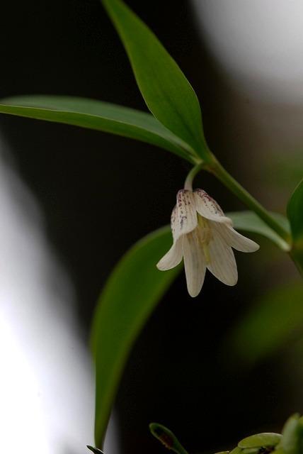 ホソバナコバイモ2-2