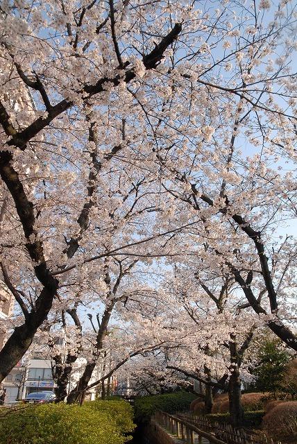 西川緑道公園の桜2