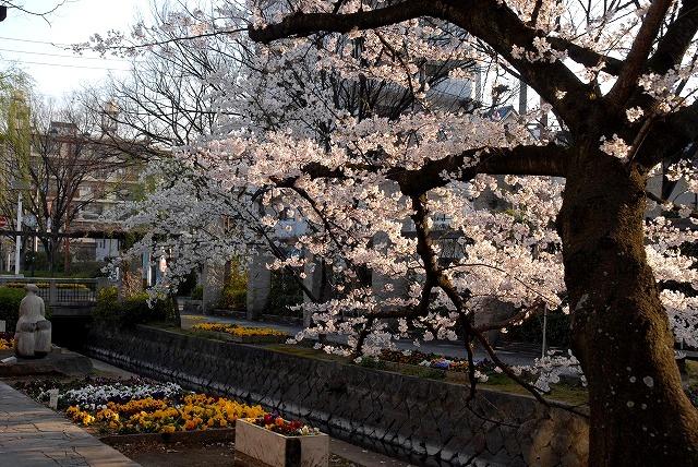 西川緑道公園の桜5