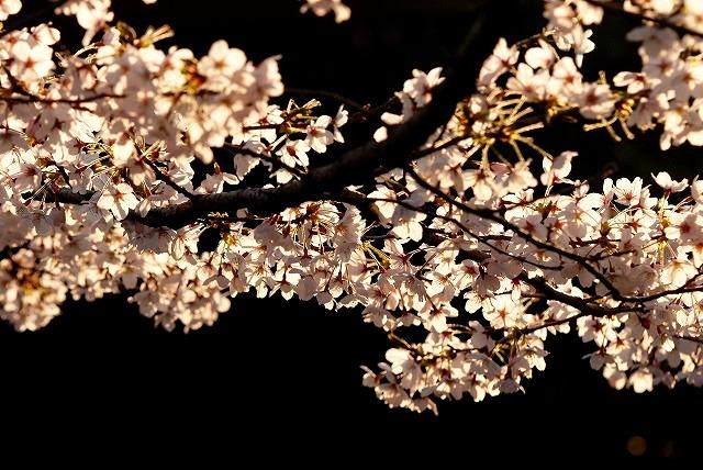 西川緑道公園の桜6