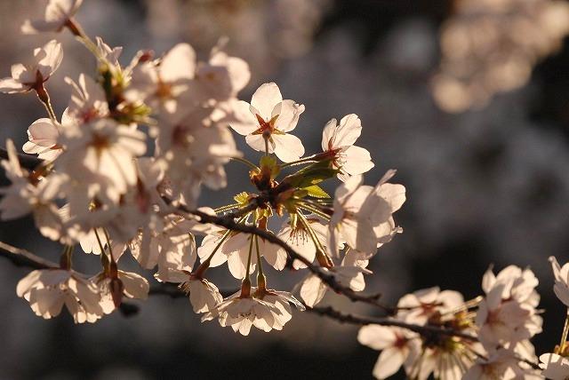 西川緑道公園の桜7