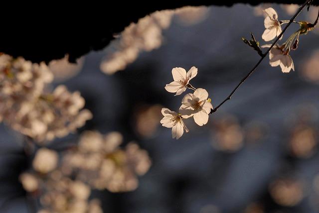 西川緑道公園の桜9