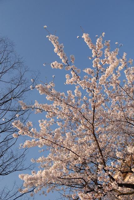 西川緑道公園の桜10