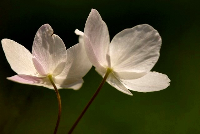 ウラ紅イチリン草2