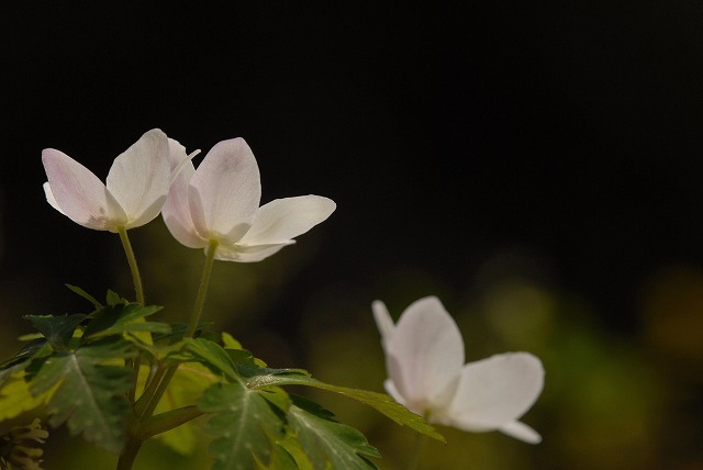 ウラ紅イチリン草3