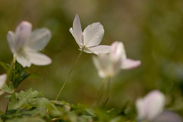 ウラ紅イチリン草4