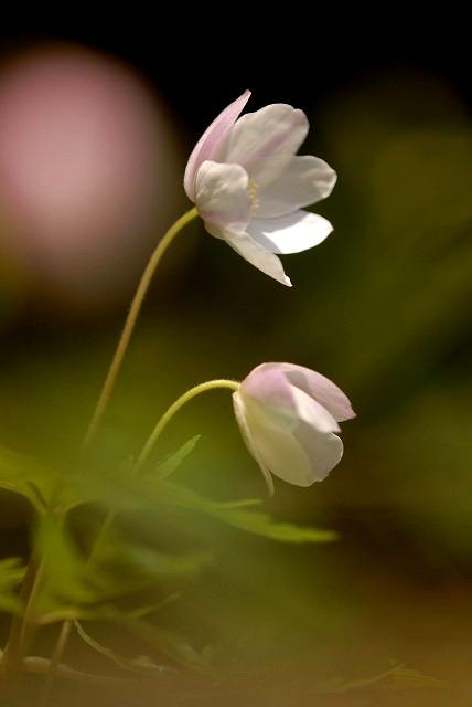ウラ紅イチリン草5