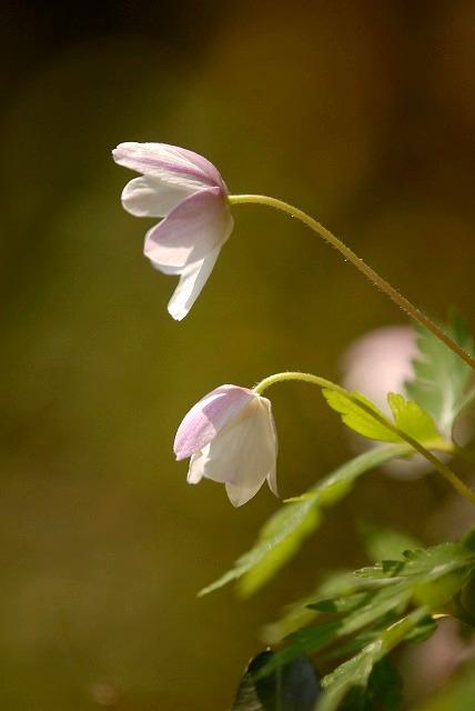 ウラ紅イチリン草6