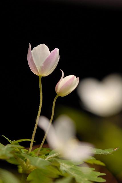 ウラ紅イチリン草7