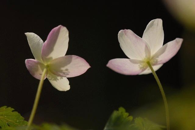 ウラ紅イチリン草8