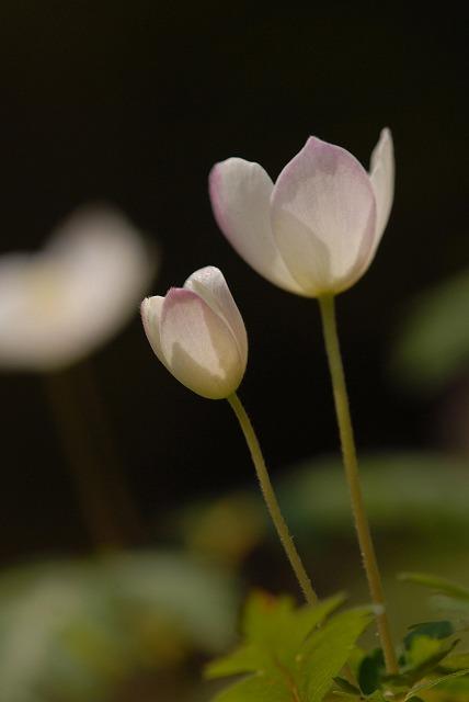 ウラ紅イチリン草9