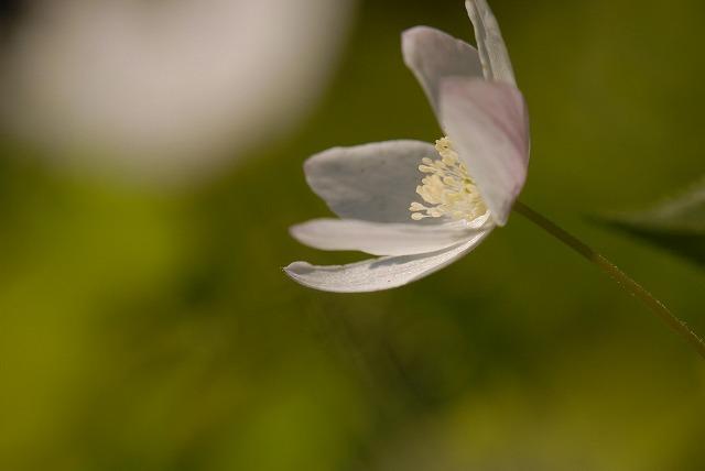ウラ紅イチリン草11