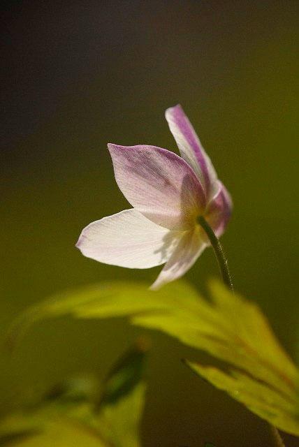 ウラ紅イチリン草12
