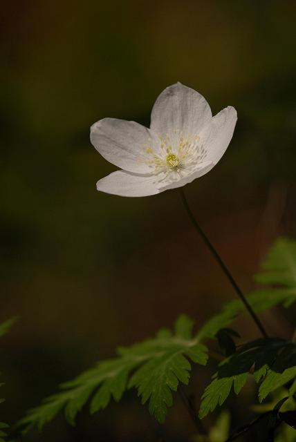 ウラ紅イチリン草13