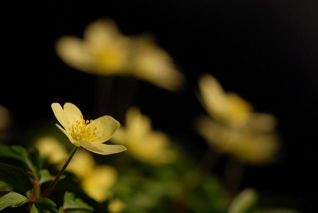 黄バナイチリンソウ1