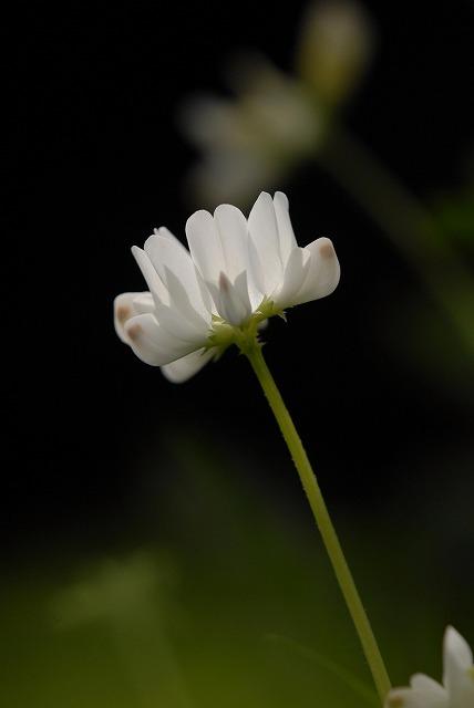 白いレンゲ草1