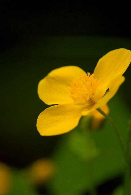 ヤマブキ草3