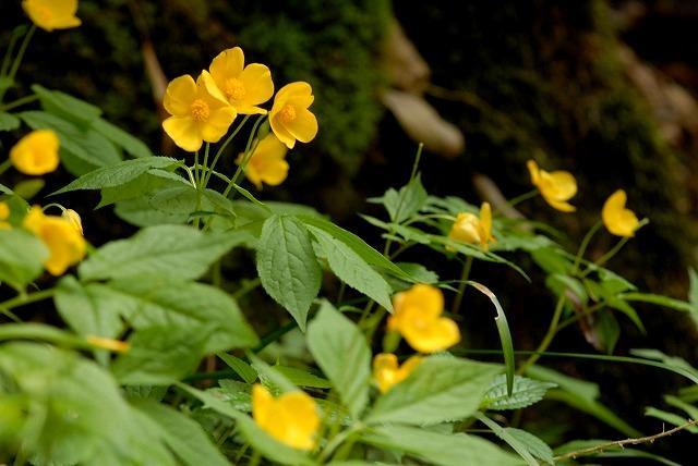 ヤマブキ草4