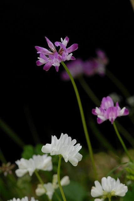 レンゲ草1