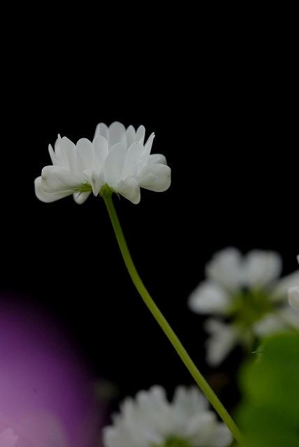 レンゲ草2