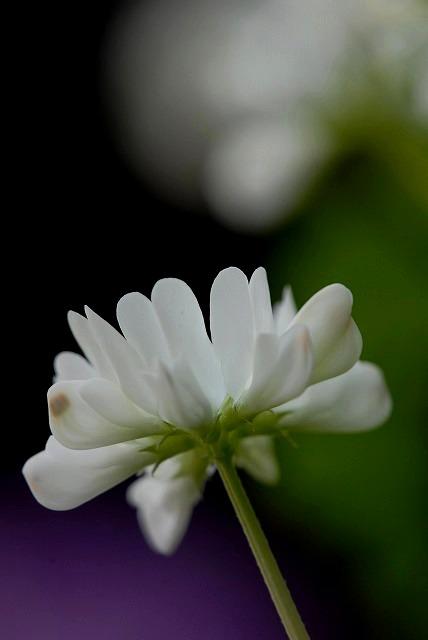 レンゲ草3