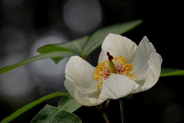 山芍薬2-1