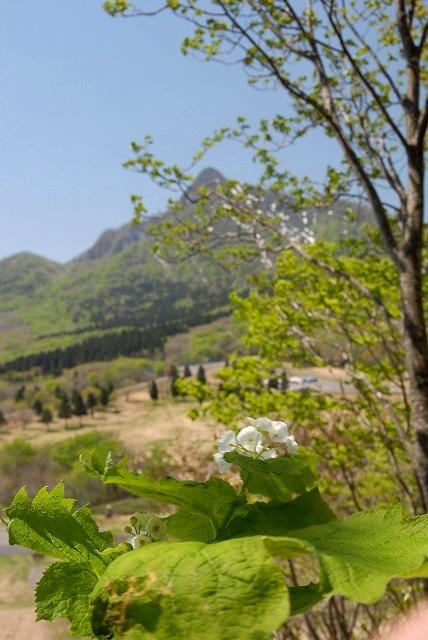 烏ヶ山とサンカヨウ1