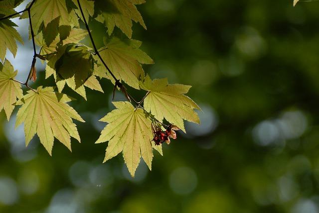 羽団扇楓2