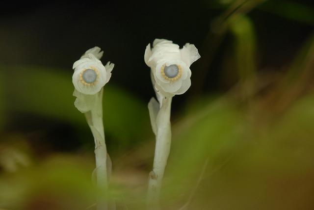 ギンリョウ草2