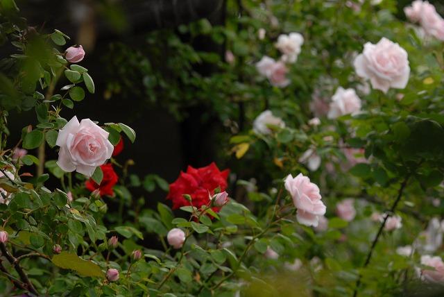 赤木ハウスの薔薇