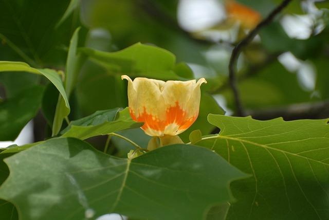百合の木の花1