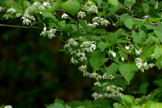 エゴの木の花1