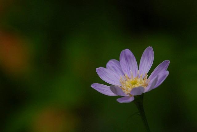 紫ヨメナ1