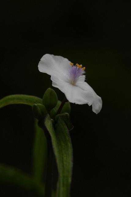 白い露草1
